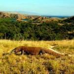 Komodo di Pulau Rinca