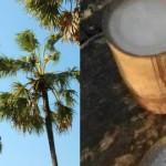 (gambar Kiri) Pohon Lontar (Borassus flabellifer) atau bahasa Kupang Pohon Tuak/Saboak sebagai sumber penghasil Tuak mentah (Gambar kanan)
